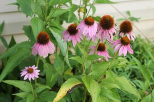 Using Purple Coneflower as a natural antibiotic for treating an infection